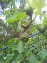 Figs Forming