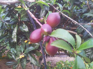 Nectarines Forming