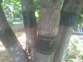 Banded Trees